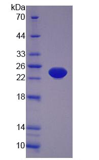Eukaryotic Tumor Necrosis Factor Alpha (TNFa)