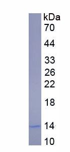 Eukaryotic Complement Component 3a (C3a)