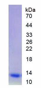Eukaryotic Complement Component 5a (C5a)