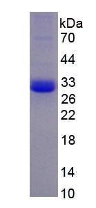 Eukaryotic Kallikrein 9 (KLK9)