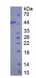 Eukaryotic Plasminogen Activator Inhibitor 1 (PAI1)