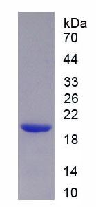 Eukaryotic Matrix Metalloproteinase 9 (MMP9)