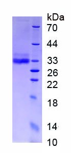 Eukaryotic Adiponectin (ADPN)