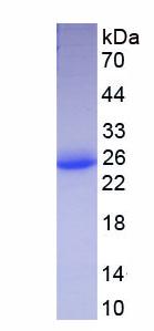 Eukaryotic Interferon Omega (IFNw)