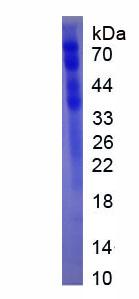 Eukaryotic Histidine Rich Glycoprotein (HRG)