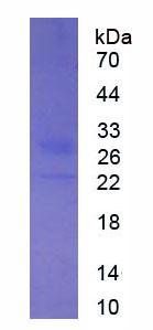Eukaryotic Interferon Alpha 17 (IFNa17)