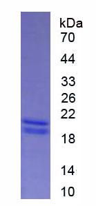 Eukaryotic Interferon Alpha 13 (IFNa13)