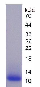 Eukaryotic HLA-B Associated Transcript 3 (BAT3)