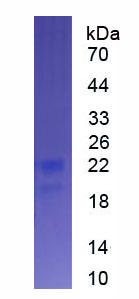 Eukaryotic Interferon Alpha 9 (IFNa9)