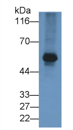APC-Linked Anti-Cluster Of Differentiation 4 (CD4) Monoclonal Antibody