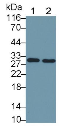 HRP-Linked Monoclonal Antibody to FMS Like Tyrosine Kinase 3 Ligand (Flt3L)