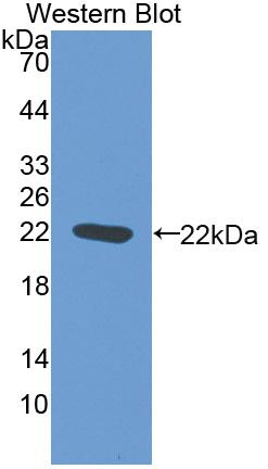 Biotin-Linked Polyclonal Antibody to Nitric Oxide Synthase 2, Inducible (NOS2)