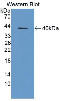 Monoclonal Antibody to Neutrophil Activating Protein 3 (NAP3)