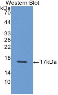 Monoclonal Antibody to Interferon Gamma (IFNg)