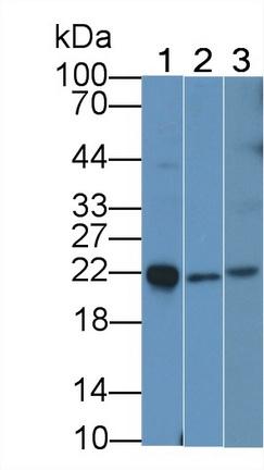Monoclonal Antibody to Interleukin 18 (IL18)