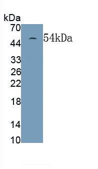 Monoclonal Antibody to Glial Fibrillary Acidic Protein (GFAP)