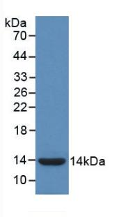 Monoclonal Antibody to Interleukin 8 (IL8)