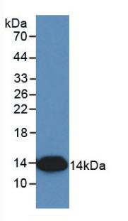 Monoclonal Antibody to Interleukin 8 (IL8)