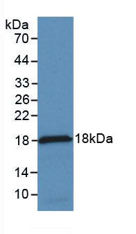 Monoclonal Antibody to Monocyte Chemotactic Protein 1 (MCP1)