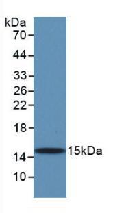Monoclonal Antibody to Transforming Growth Factor Beta 1 (TGFb1)