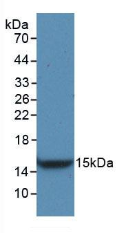 Monoclonal Antibody to Vascular Endothelial Growth Factor C (VEGFC)