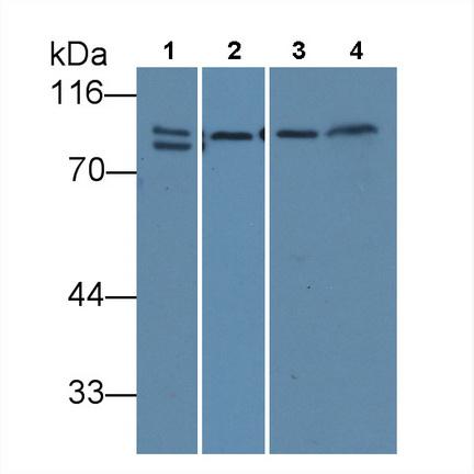 Monoclonal Antibody to Calnexin (CNX)
