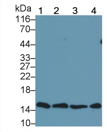 Monoclonal Antibody to Histone H3 (H3)