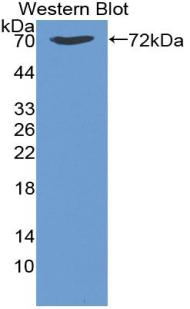 Monoclonal Antibody to Heat Shock 70kDa Protein 1B (HSPA1B)