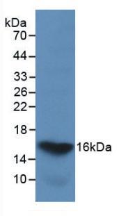 Monoclonal Antibody to Galectin 2 (GAL2)