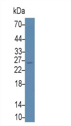 Monoclonal Antibody to Galectin 3 (GAL3)