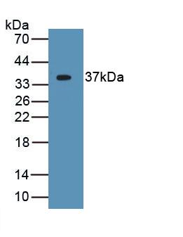 Monoclonal Antibody to Apolipoprotein H (APOH)