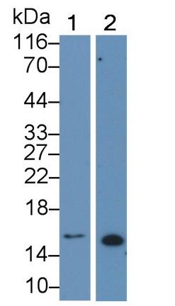 Monoclonal Antibody to Galectin 1 (GAL1)