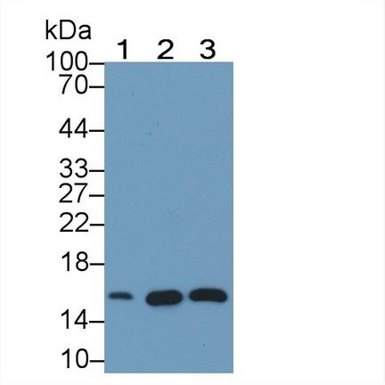 Monoclonal Antibody to Neurogranin (NRGN)