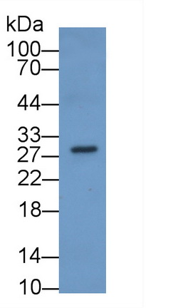 Monoclonal Antibody to Sex Determining Region Y Box Protein 2 (SOX2)
