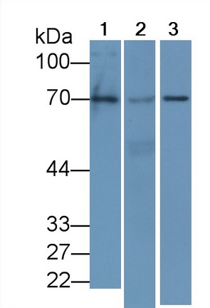 Monoclonal Antibody to Early Growth Response Protein 1 (EGR1)