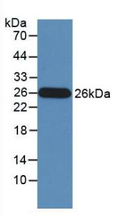 Monoclonal Antibody to Granzyme M (GZMM)