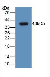 Monoclonal Antibody to Growth Hormone Releasing Hormone (GHRH)