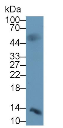 Monoclonal Antibody to Insulin (INS)