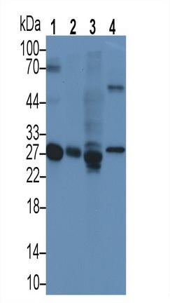 Monoclonal Antibody to Apolipoprotein A1 (APOA1)