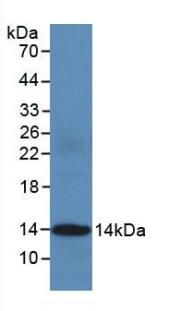 Monoclonal Antibody to Cytochrome C, Somatic (CYCS)