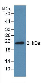 Monoclonal Antibody to Midkine (MK)