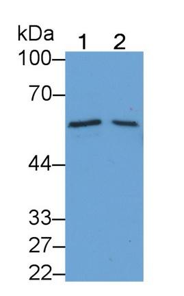 Monoclonal Antibody to Bone Morphogenetic Protein 6 (BMP6)