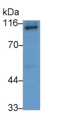 Monoclonal Antibody to Amiloride Binding Protein 1 (ABP1)