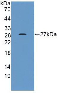 Monoclonal Antibody to Heat Shock Protein 27 (Hsp27)