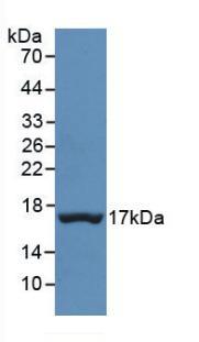 Monoclonal Antibody to Prealbumin (PALB)