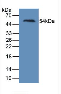 Monoclonal Antibody to Kidney Injury Molecule 1 (Kim1)