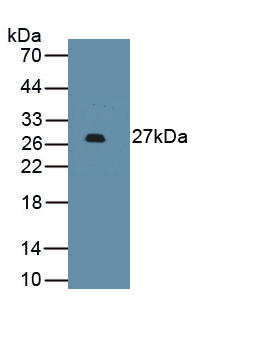 Monoclonal Antibody to Programmed Cell Death Protein 1 Ligand 2 (PDL2)