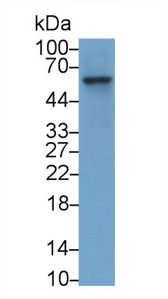 Monoclonal Antibody to Coagulation Factor IX (F9)