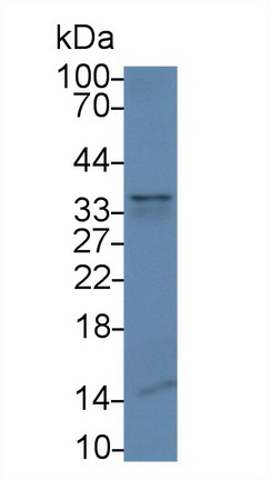 Monoclonal Antibody to Pulmonary Surfactant Associated Protein A1 (SFTPA1)