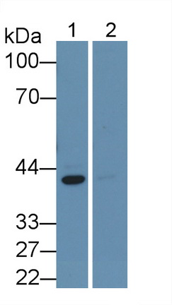 Monoclonal Antibody to Extracellular Signal Regulated Kinase 2 (ERK2)